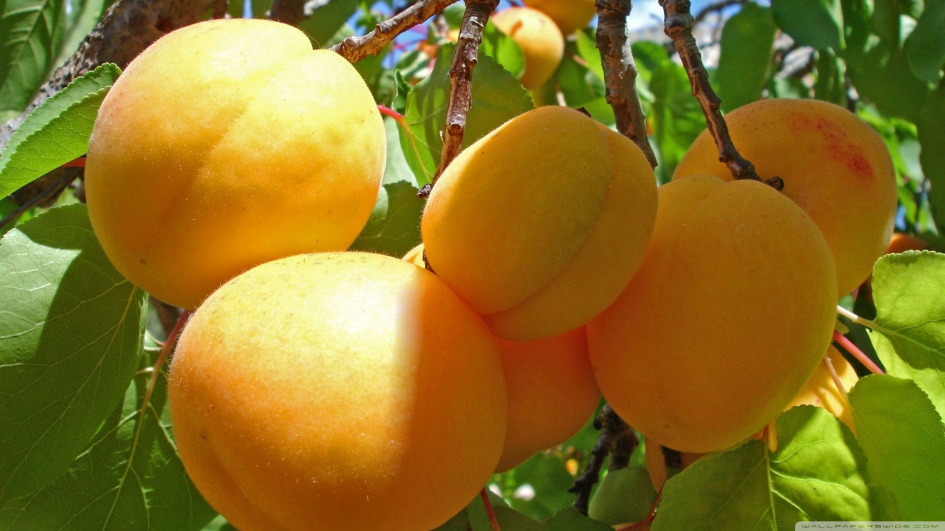 Apricot tree 1.jpg_product
