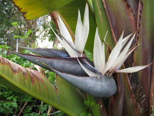 Bird-of-Paradise---Giant-1.jpg_product