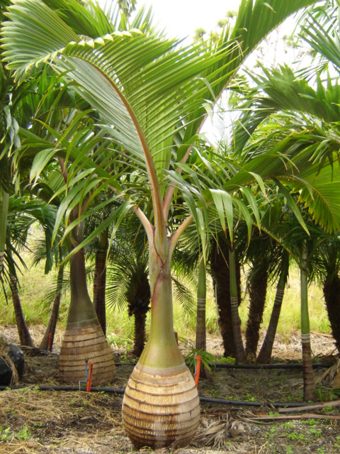 King_Palm_TP.jpg_product_product_product_product_product