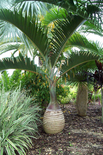 King_Palm_TP.jpg_product_product_product_product_product_product
