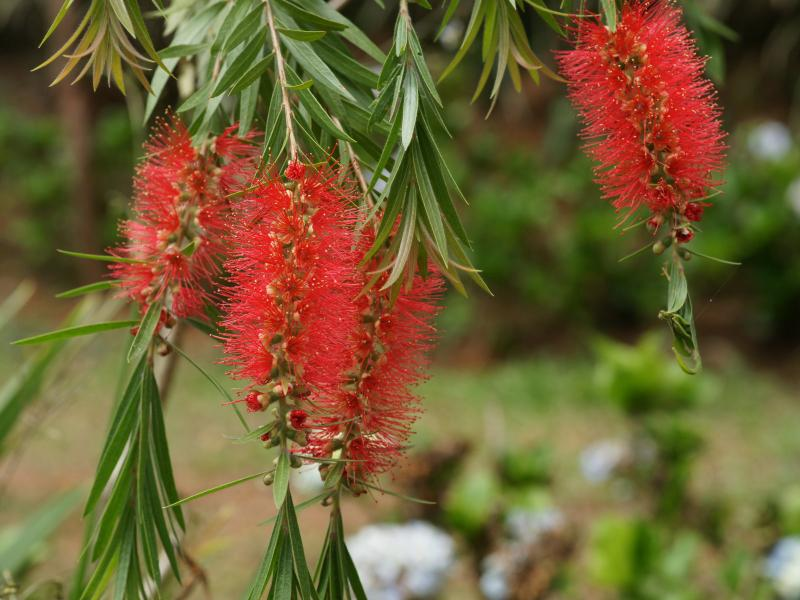bottlebrush-tree 2.jpg_product