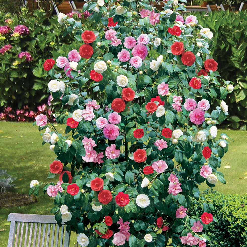 Flowering shrubs and vines camellia tree or shrub large for Large flowering shrubs