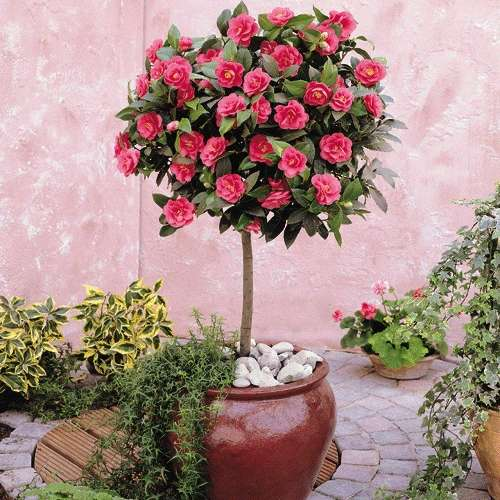 camellia 4.jpg_product_product
