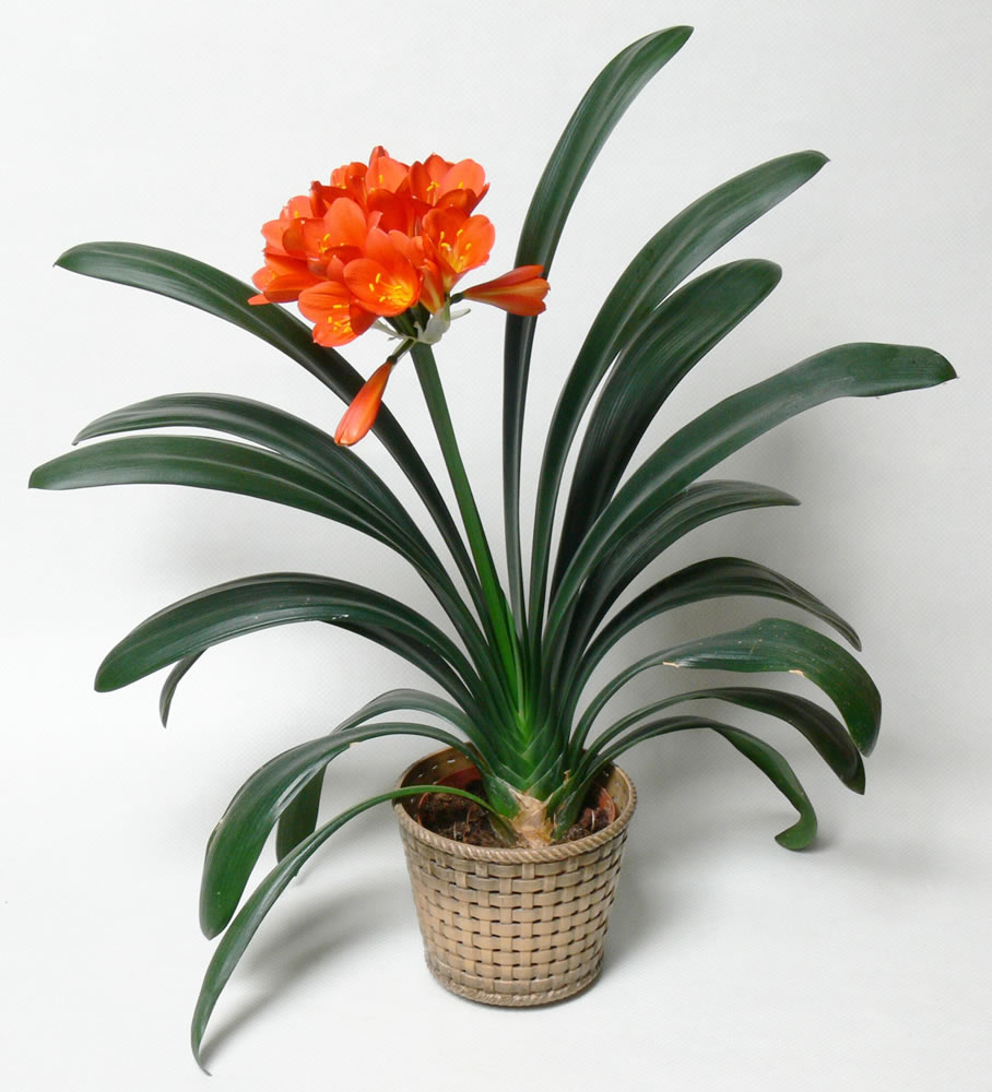 Clivia Flowers.jpg_product