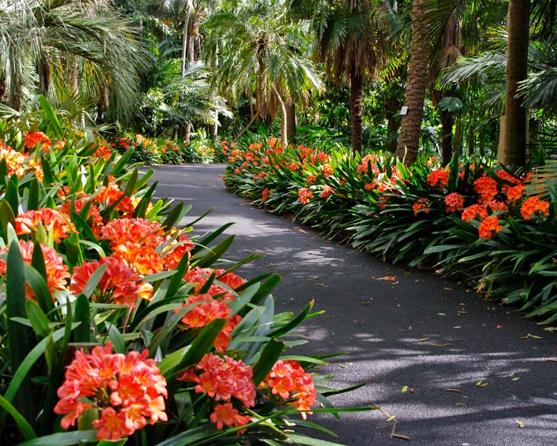 Flowering shrubs and vines clivia large for Large flowering shrubs