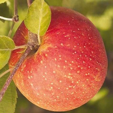 Fuji Apple Tree 1.jpg_product
