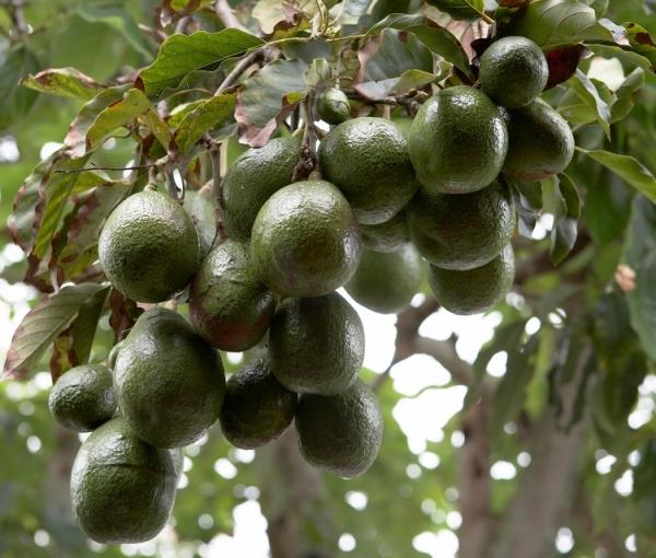 Exotic Fruit Trees: Avocado - GEM - 3 - 4 feet tall