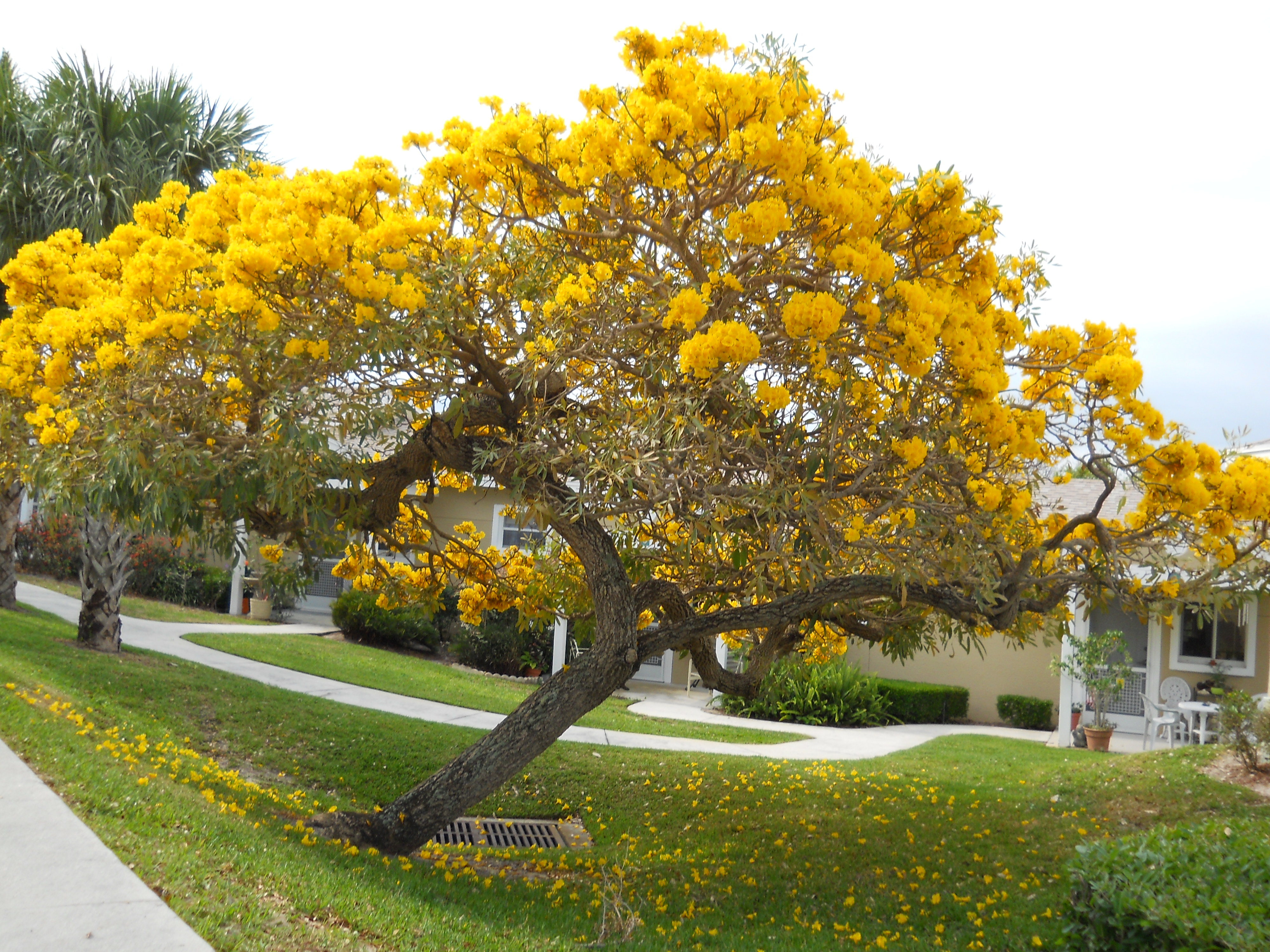 Gold Tree - Tabebuia_2.jpg_product