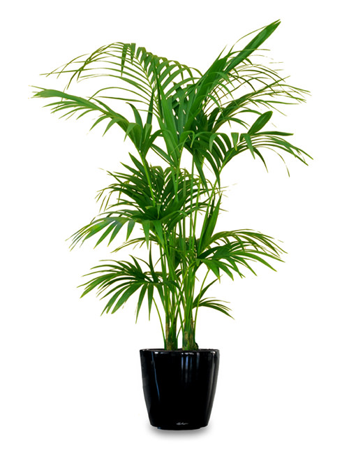 King palm - multi trunk.jpg_product