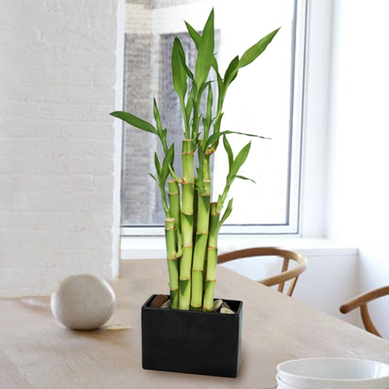 Elegant Lucky_bamboo 2_product