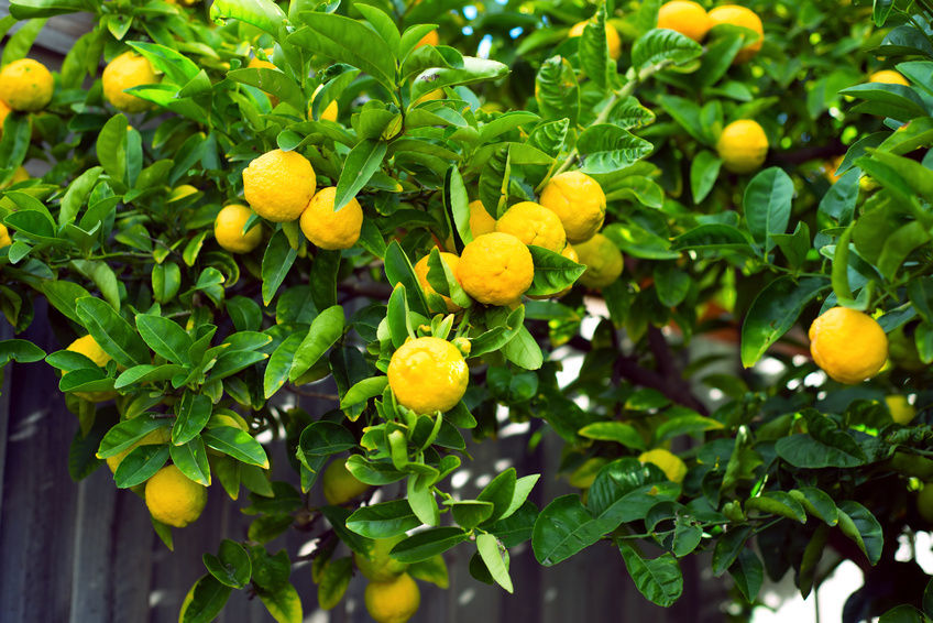 pink lemonade fruit tree.jpg_product_product_product_product