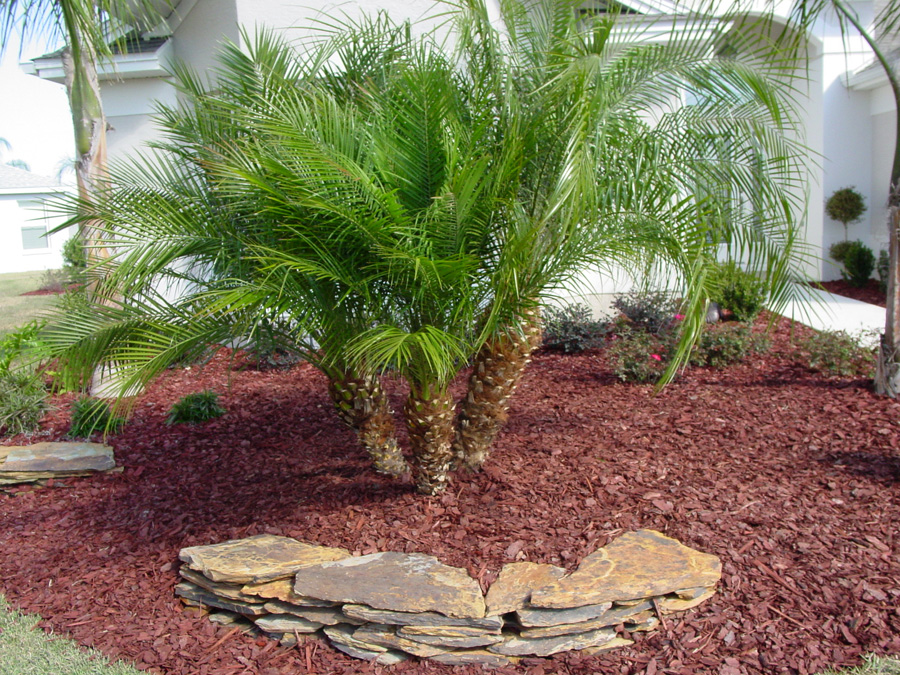 Pygmy Date Palm - Phoenix roebelenii 9.jpg_product_product