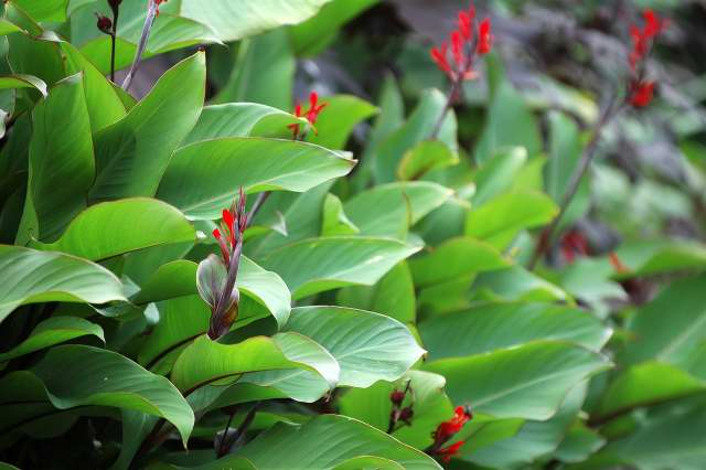 Tropical Shrubs - canna 1.jpg