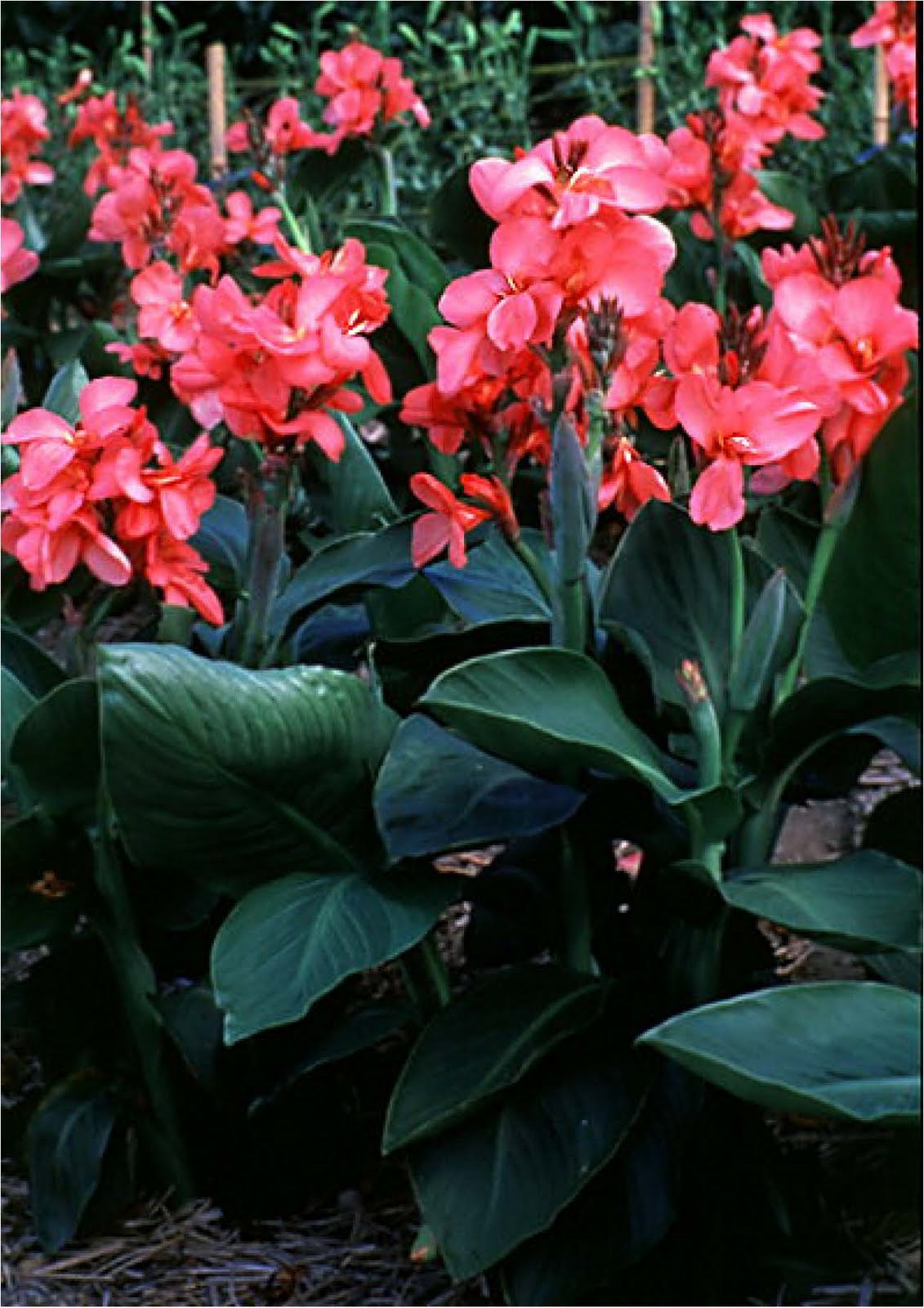 Tropical Shrubs - canna 1.jpg_product
