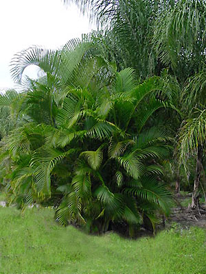 Areca Palm.jpg_product