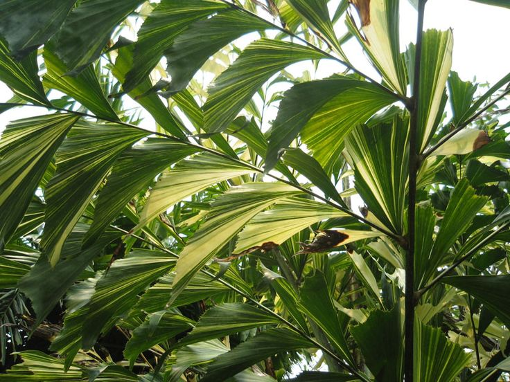 fishtail-palm.jpg_product