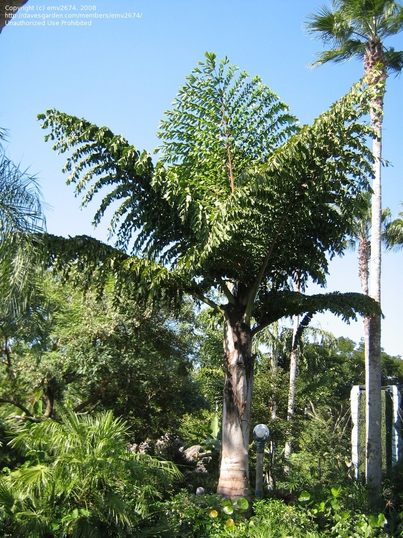 fishtail-palm.jpg