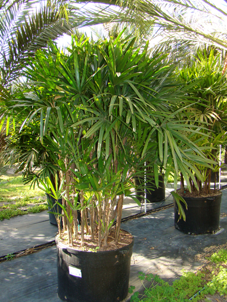 Lady Palm 2.jpg_product