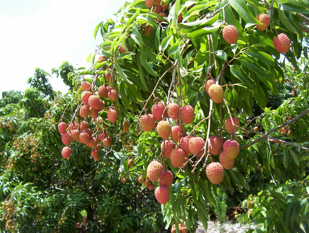 Lychee.jpg_product