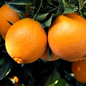 blood orange 3.jpg_product_product_product
