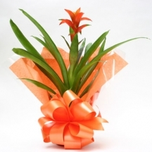 orange-guzmania-tropical-indoor-plant.jpg