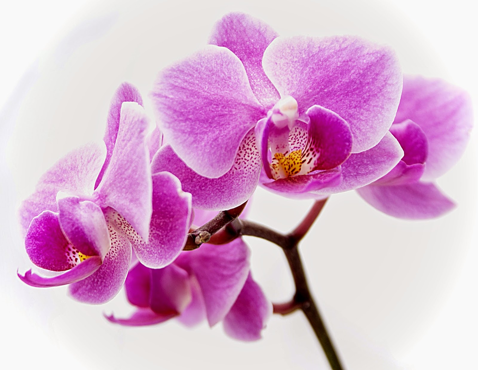 orchids-indoors plants.jpg_product