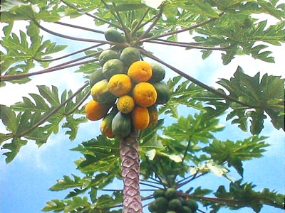 Papaya Tree6.jpg_product