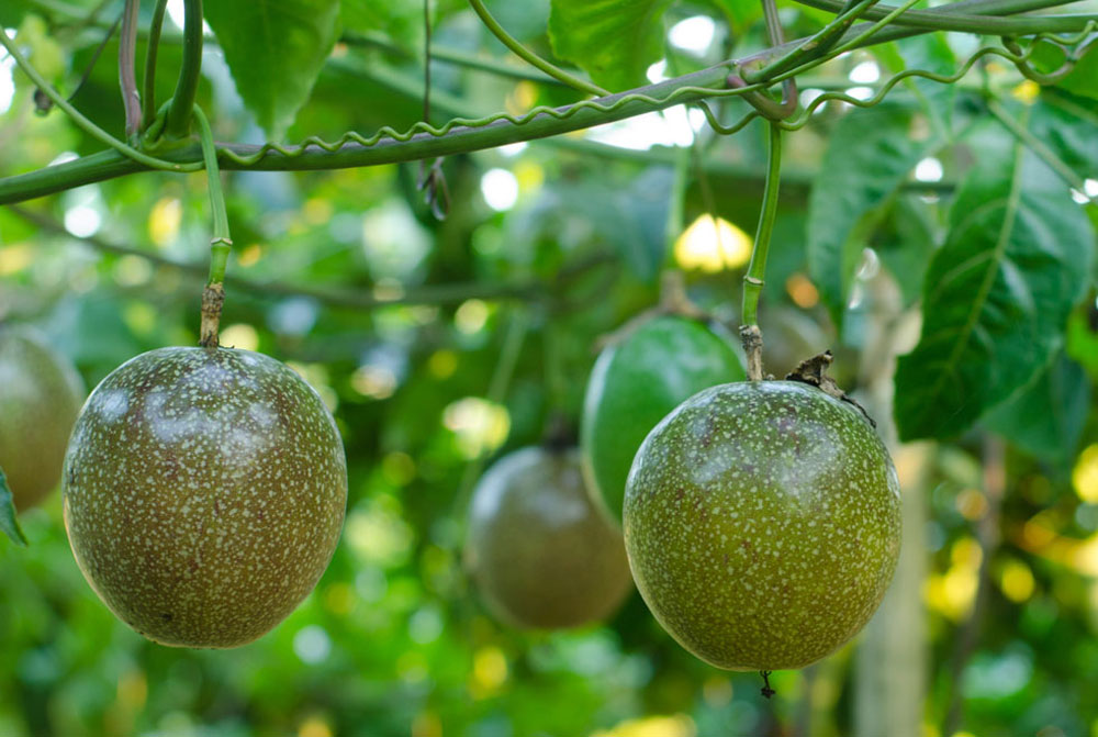 Passion fruit 3 Large.jpg_product