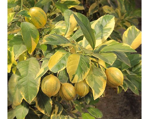 pink lemonade fruit tree.jpg_product