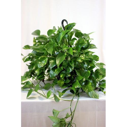 Pothos hanging plant 2.jpg_product