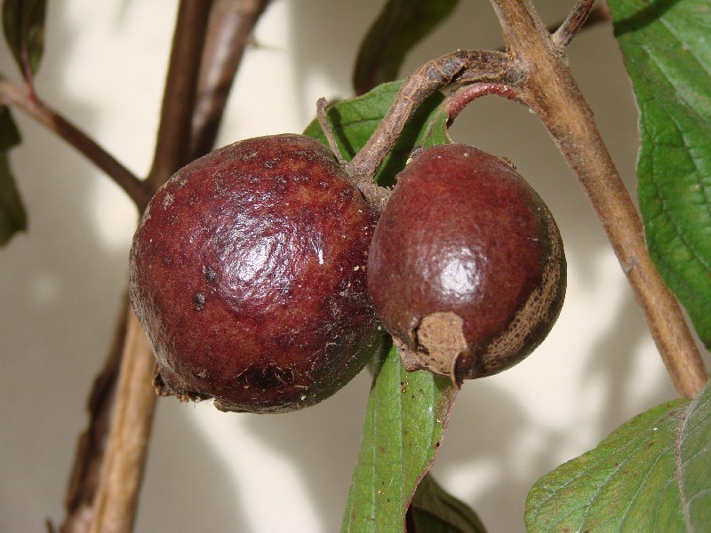 purple Indian guava-fruit.jpg