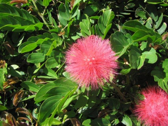 Calliandra-bloom