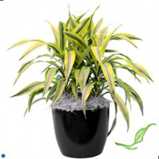 Dracaena-Lemon-Lime 2