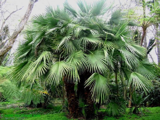 European Fan Palm 1