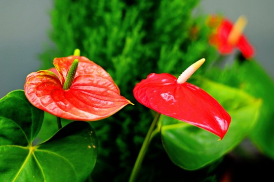 Flamingo Flower 1