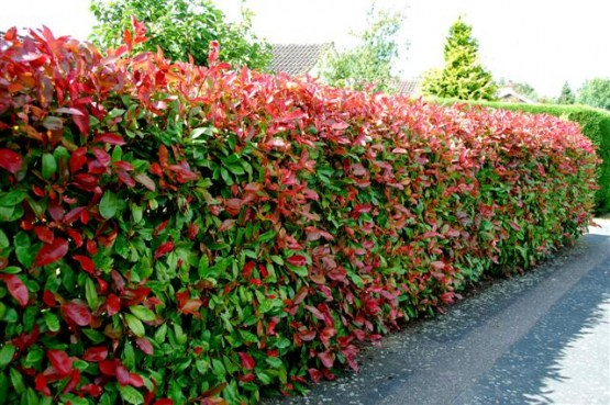 Hedge - Photinia