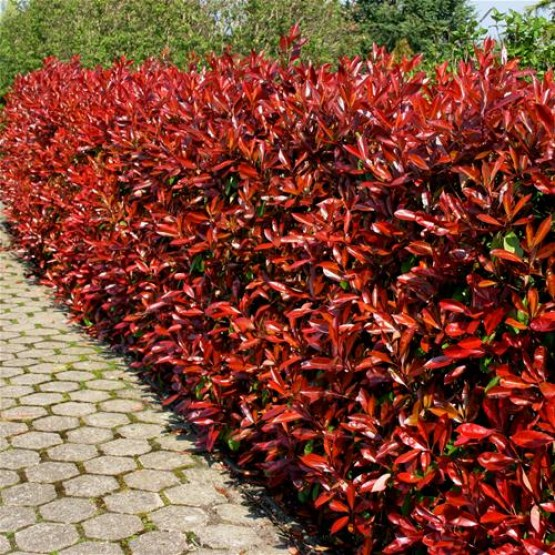 Hedge - photinia- 2