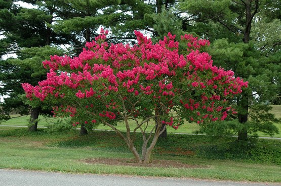 Lagerstroemia - Pink 2