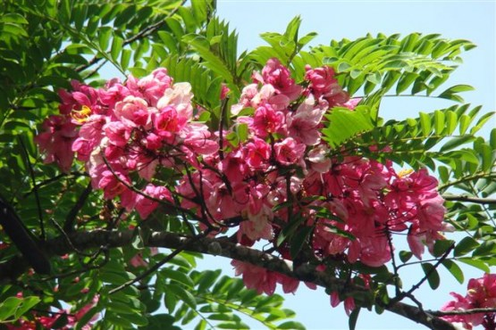 Main image 4 - pink-cassia-enroute-to-marayoor-kerala