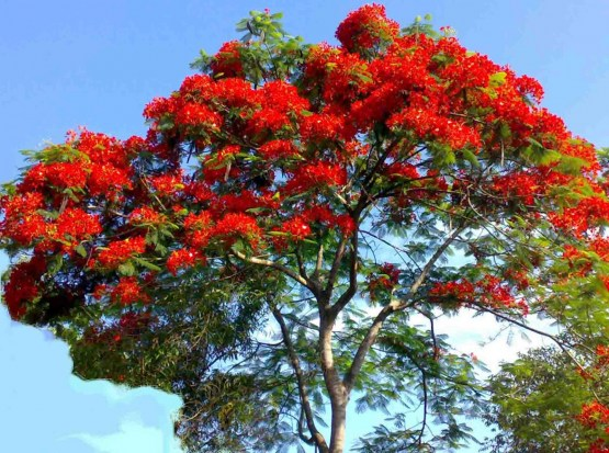Royal Poinciana - 1
