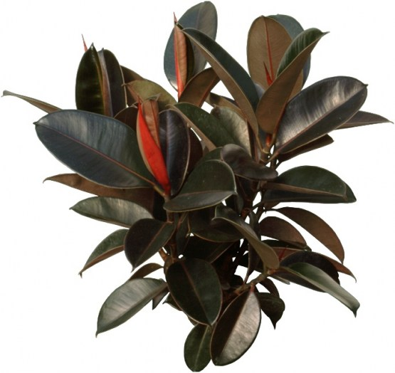 Rubber Tree indoor 2