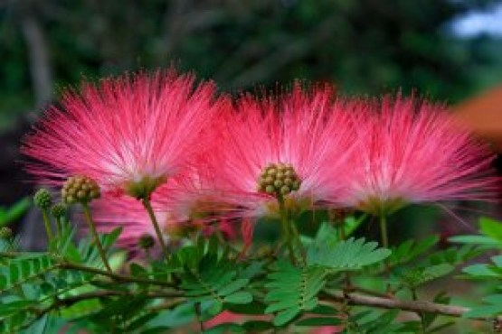 silk tree flower - Silk Trees
