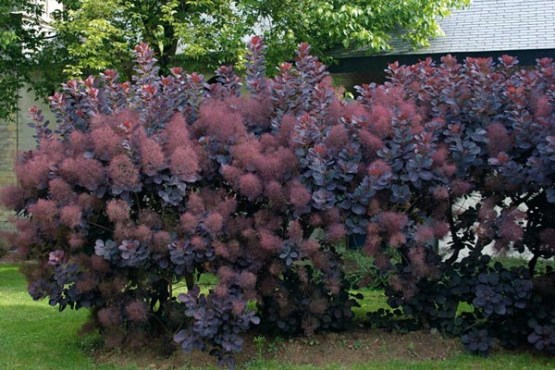 Smoke Tree Hedge