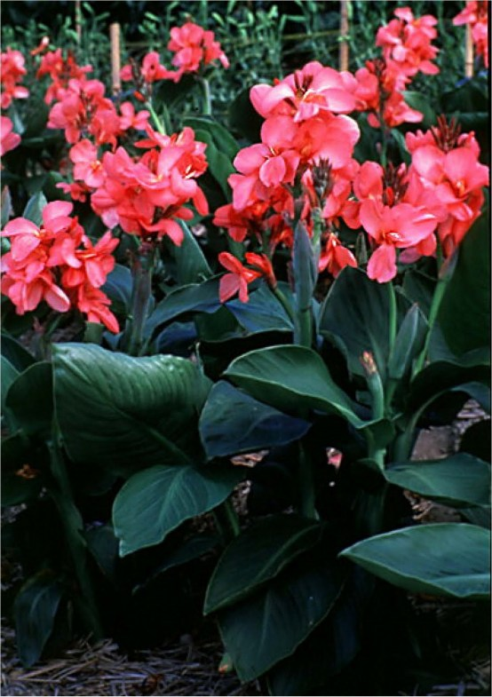 Tropical Shrubs CANNA - ROSE