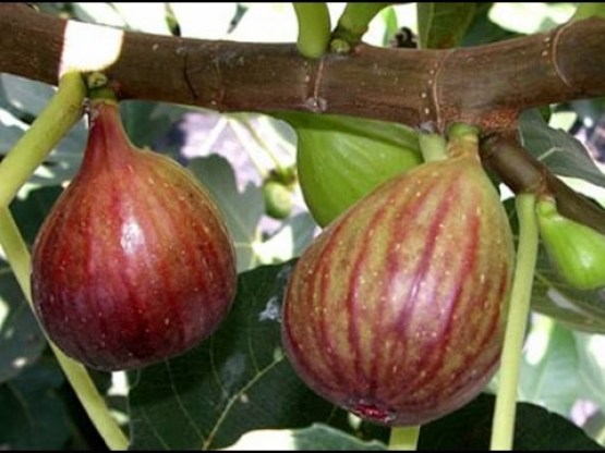 Turkish Fig Tree 3