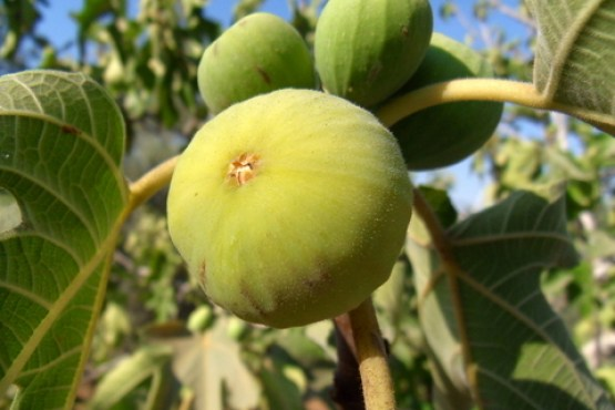 Turkish Fig_Tree 2