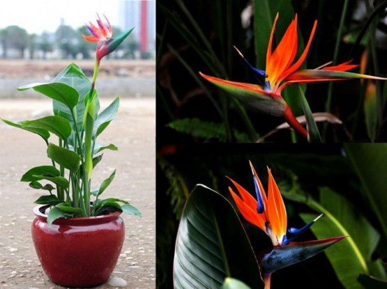 bird-paradise-in pot4