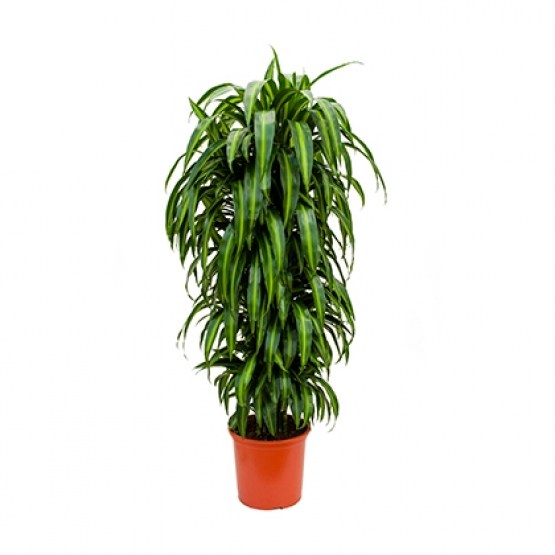 dracena-hawaiian- 2