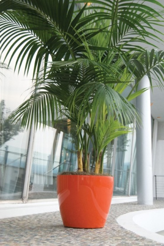 kentia-palm-indoor-house-plants