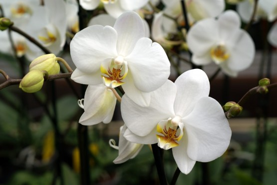 orchid indoor plant - White